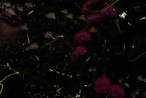 ホタルが息づく豊かな自然 淡い光が暗闇を包む