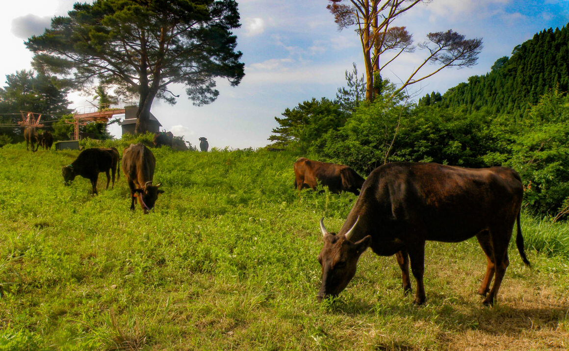 牛と生きてきた小代の誇り、和牛の原点ここにあり!