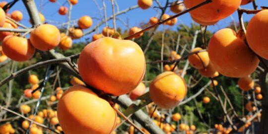 第24回花御所柿祭り